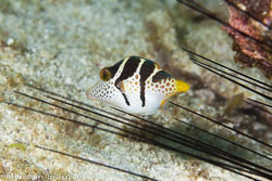 BD-140322-Panglao-3177-Canthigaster-valentini-(Bleeker.-1853)-[Valentin´s-sharpnose-puffer].jpg